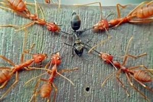 formiga-preta-sendo-morta